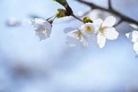 cherry-blossom-someiyoshino.jpg